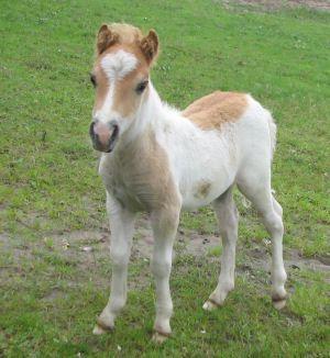 Stjernens Mini Balthasar - Shetland Pony stallion (Telstar grandson)