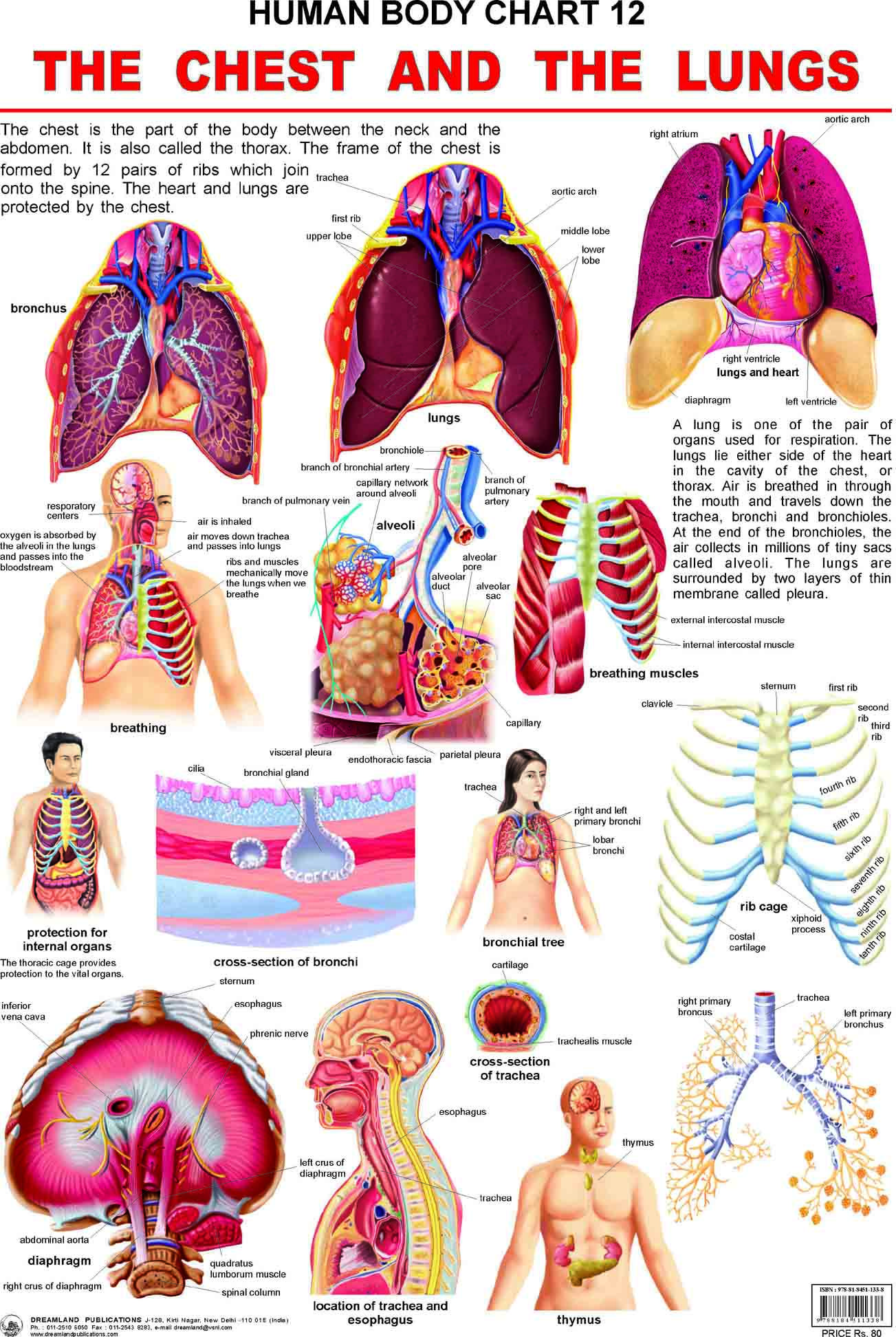 Pin by Pioneers Education on HUMAN BODY CHARTS | Pinterest | Health ...