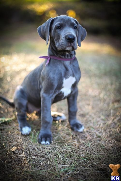 S S Blue Haven Great Danes Some day a love...
