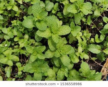 Peppermint is used for food preparation and as a medicinal plant. #agriculture, #aroma, #aromatherapy, #aromatic, #background, #bio, #botany, #closeup, #collection, #foliage, #food, #foods, #fragrant, #fresh, #freshness, #garden, #gardening, #green, #growth, #healing, #healthy, #herb, #herbal, #ingredient, #isolated, #leaf, #leaves, #medical, #medicinal, #medicine, #menthol, #mint, #natural, #nature, #nutrition, #odoriferous, #organic, #pepper, #peppermint, #plant, #relaxation, #remedy, #seasoni