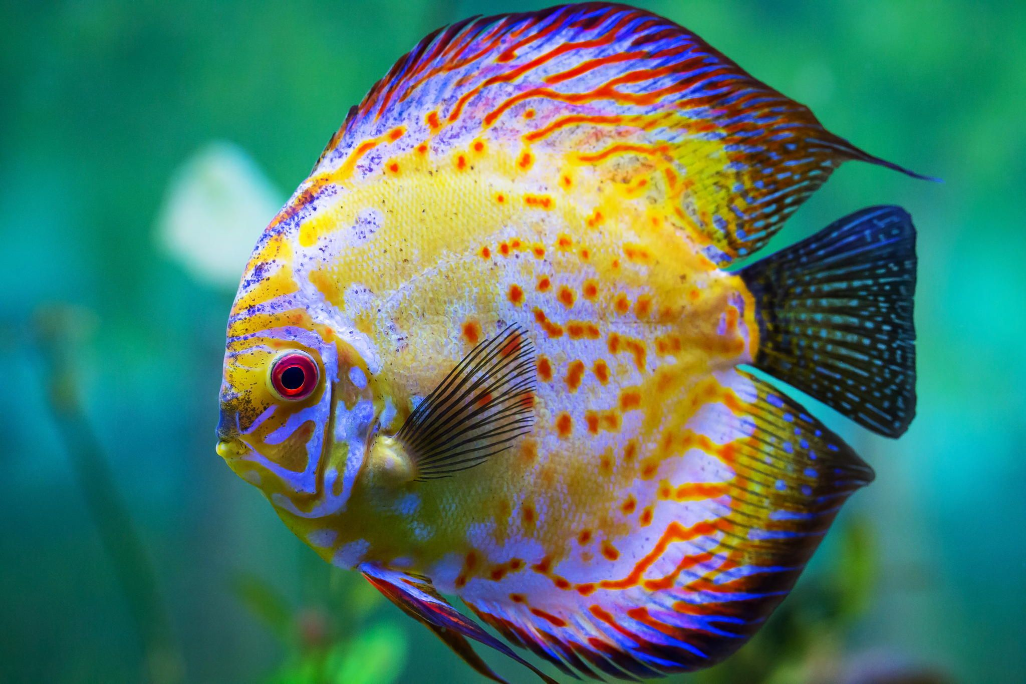 Colorful discus fish by tim medora best discus discus for Keeping discus fish
