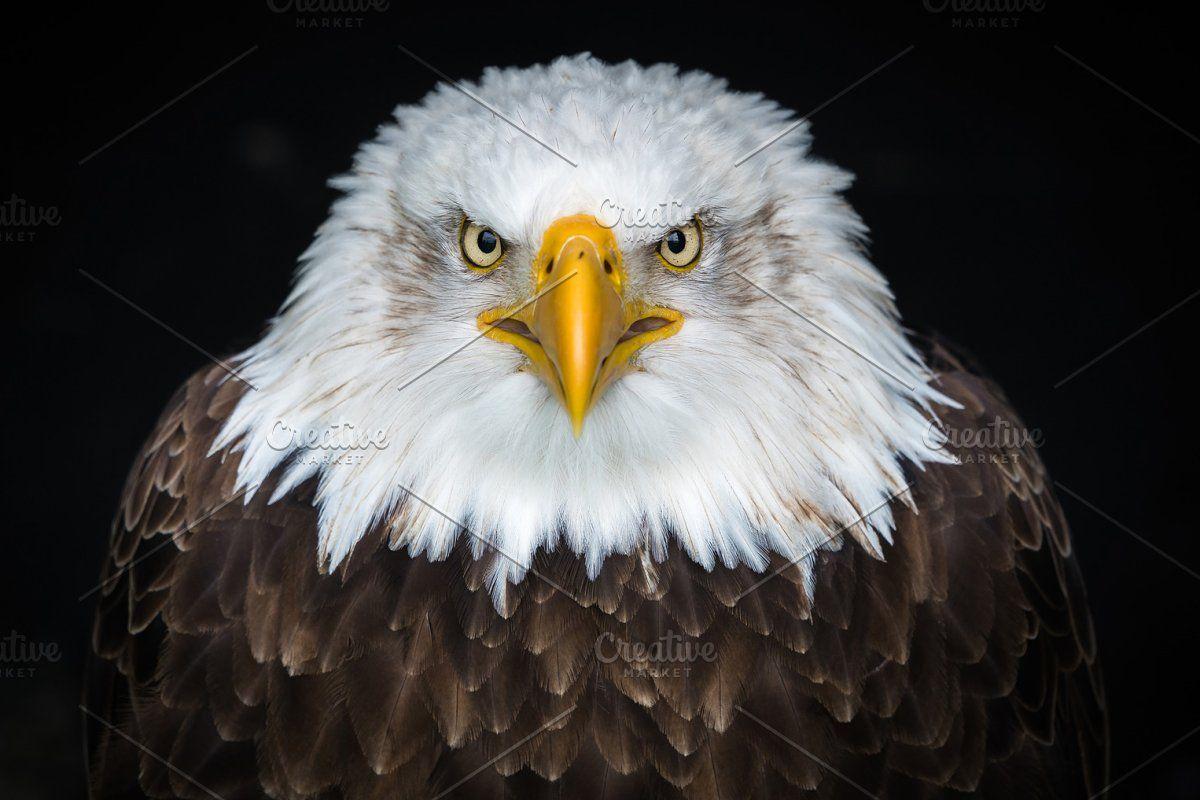 American Bald Eagle Sea Eagle Bald Eagle Animal Wallpaper Eagle Face Eagle wallpaper hd download