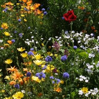 Low Grow Wildflower Seed Mix
