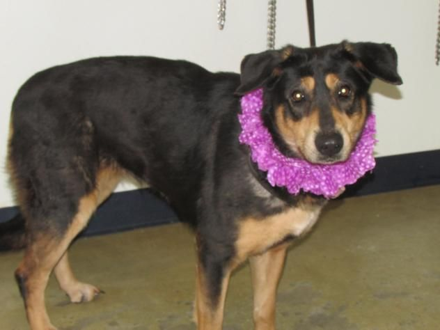 Adopt Gracie On Rottweiler Mix Rottweiler Animals