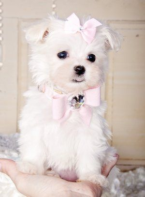 Stunning Teacup Maltese Princess 15 Oz At 8 Weeks Beautiful And