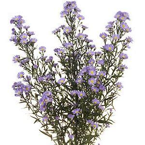 Lavender Aster Flower Ordering Wedding Flowers Online Lavender Petals