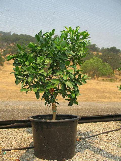 persian lime tree patio fruit trees