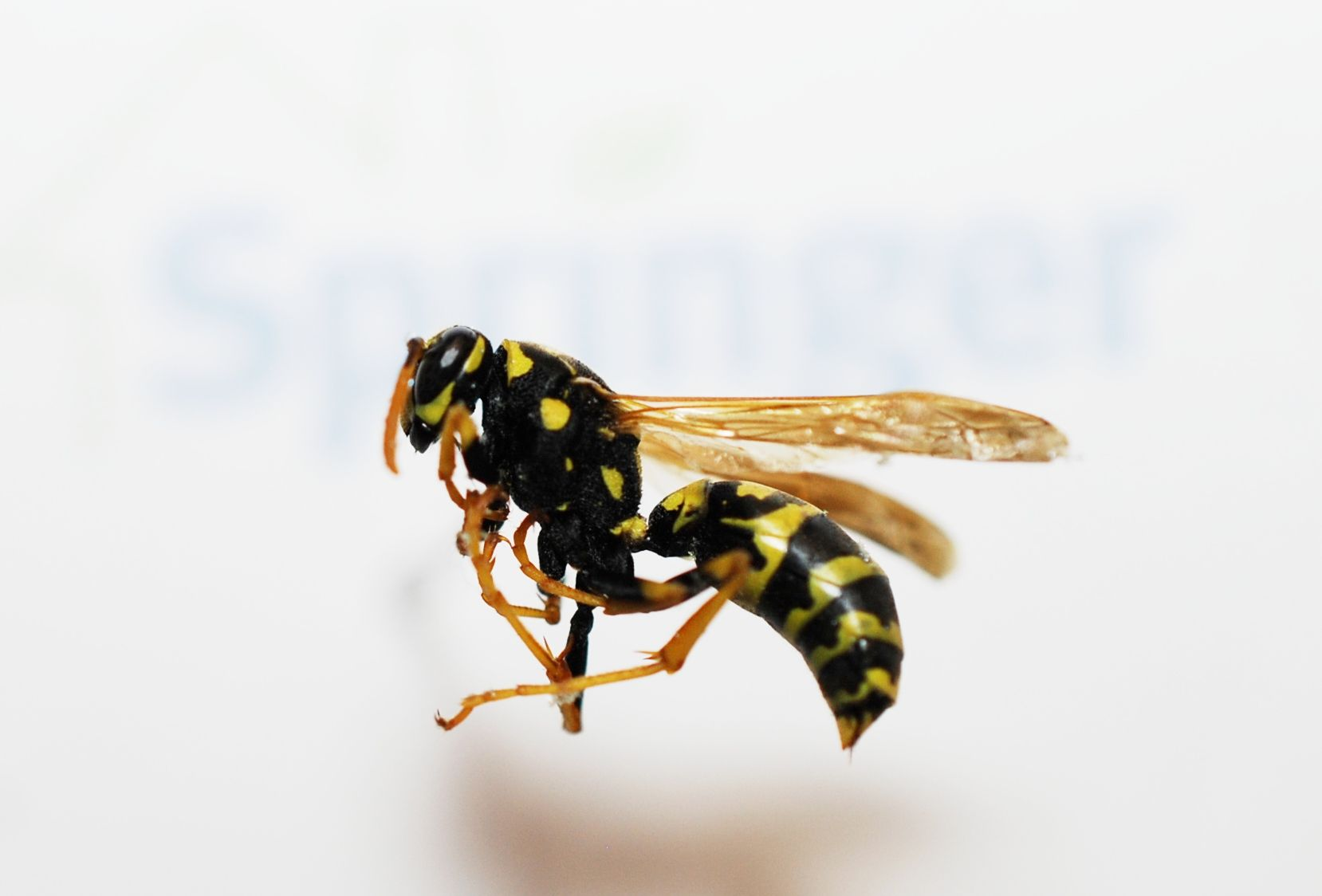 Wasps: types of insects and their features 30