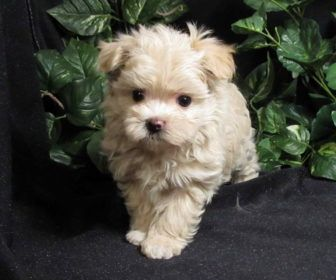 Maltipoo Small Puppy Breeds Best Collection About Small Puppy