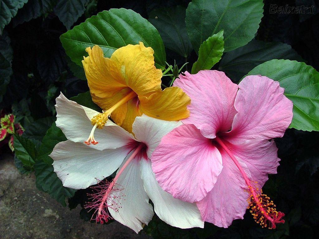 Directorio De Flores Hibiscus Plantas De Sol Flores De Hibisco Flores De Sol