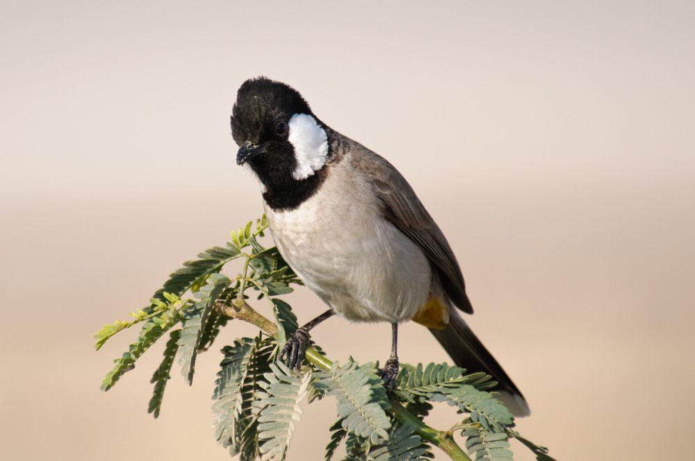 البلبل ابيض الخدين او طائر البلبل العراقي كل ما تود معرفته حول هذا الطائر طيور العرب Animals Bird Birds