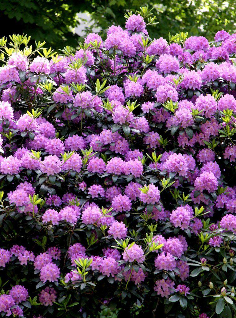 fiche plante rhododendron - Planter Un Rhododendron Dans Votre Jardin