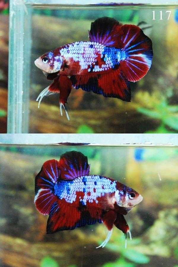Fwbettashmp1415975995 fancy koi 117 koi bettas for Fancy koi fish