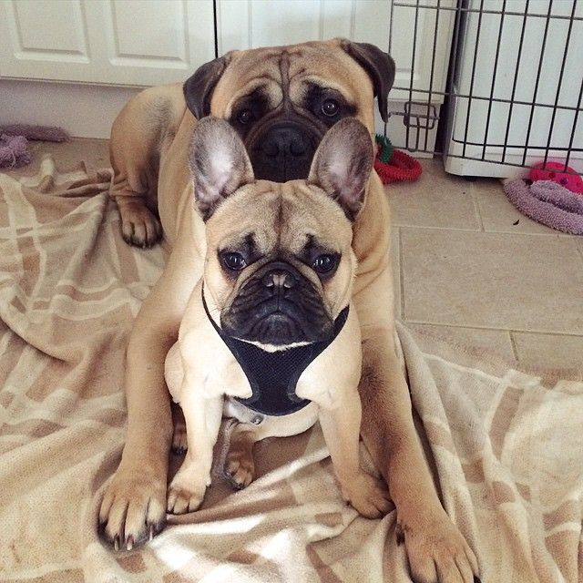French Bulldog And A Mastiff Too Cute With Images Mastiffs