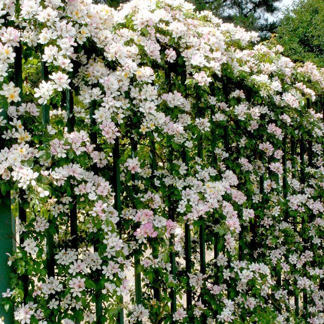 Épinglé sur Розы в саду