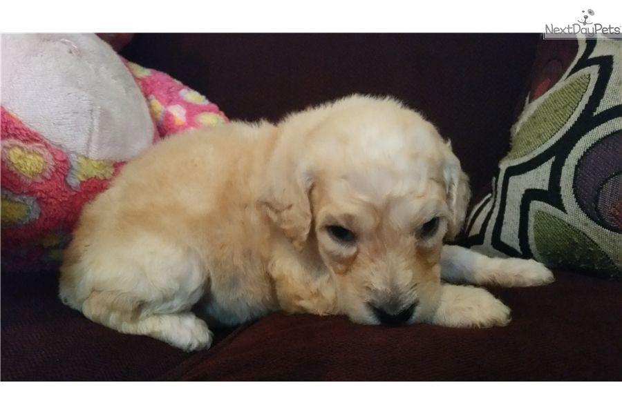 Schnauzer puppies for sale in dallas texas