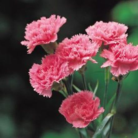 Can Carnation Cuttings Grow Roots Carnation Flower Carnations Types Of Flowers
