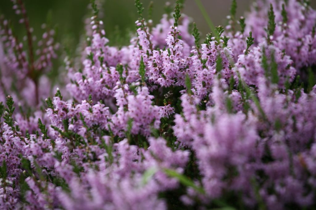 Heather S Scientific Name Calluna Vulgaris Comes From The Greek Kallune Meaning To Clean Or Brush Native To I Heather Flower Heathers Flower Pictures