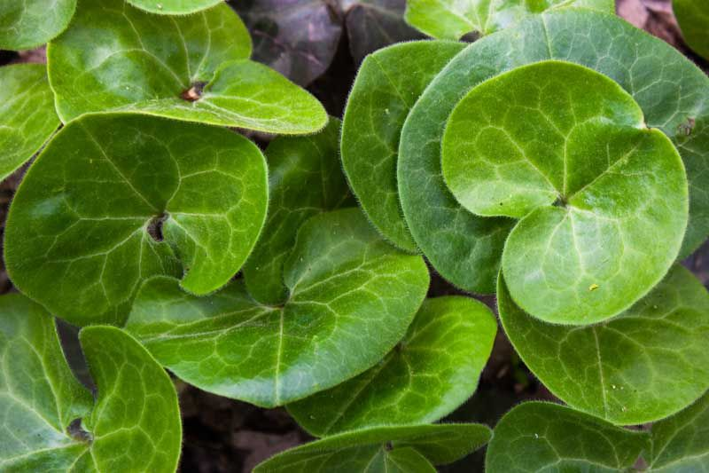 Asarum Europaeum European Wild Ginger Is A Slowly Spreading Ground Cover That Is Primarily Grown For Its Glossy Leathe In 2020 Plants Under Trees Wild Ginger Plants