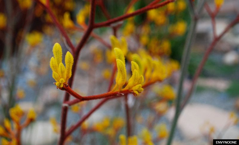 The Best Native Plants for Western Australian Gardens