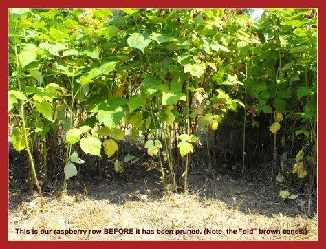 Pin By Jessica Slocum On Gardening Pruning Raspberries Raspberry Bush Fall Garden Vegetables