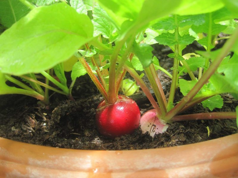 HOW TO GROW RADISHES How to Grow Series Healthy garden