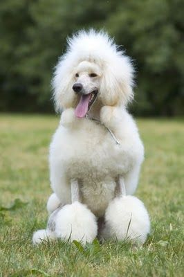 I M Having A Bad Hair Day Dogs Standard Poodle Poodle