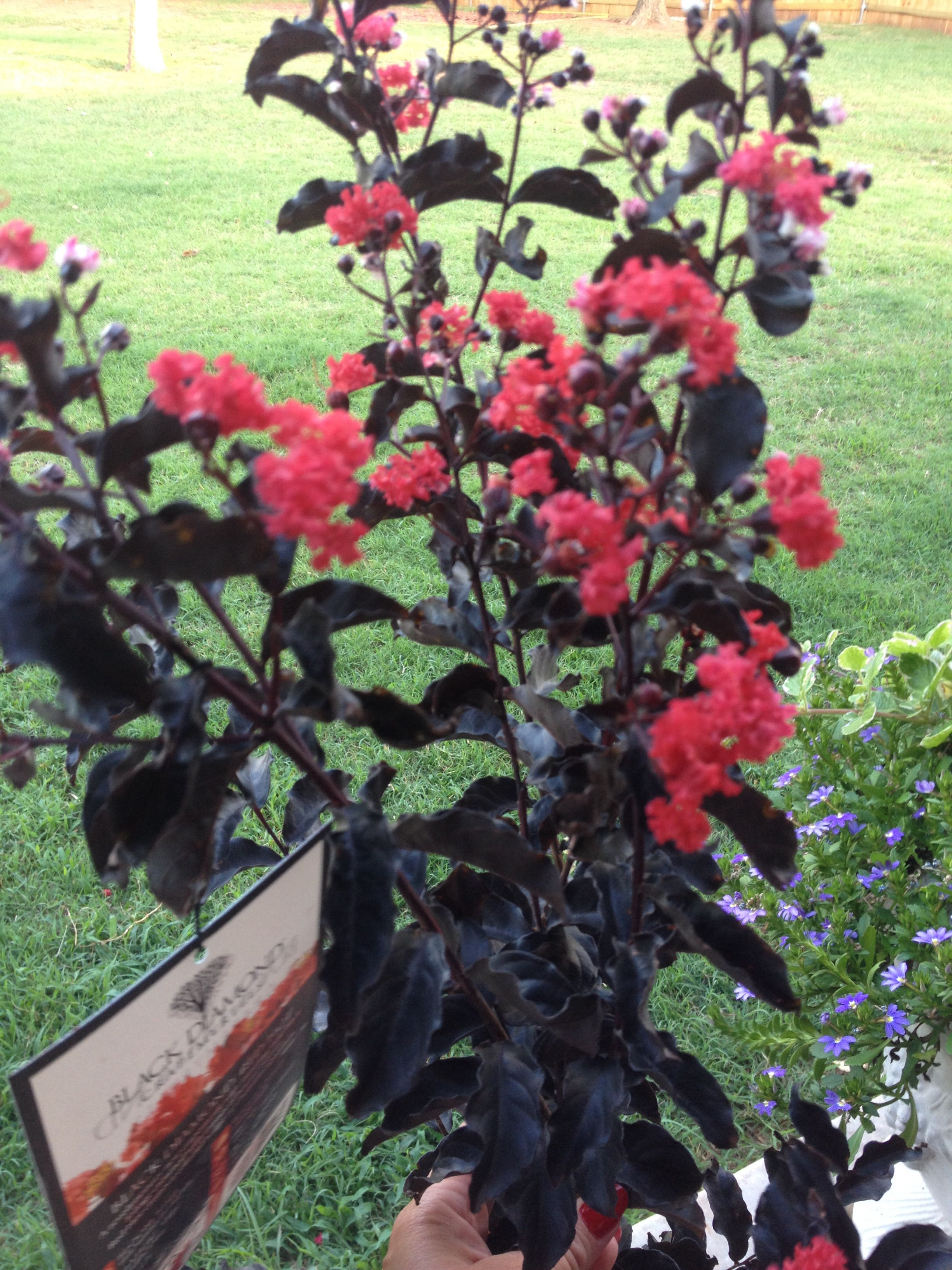 Black Diamond Red Hot Crepe Myrtle Flowering Trees Front Yard Decor Garden Yard Ideas