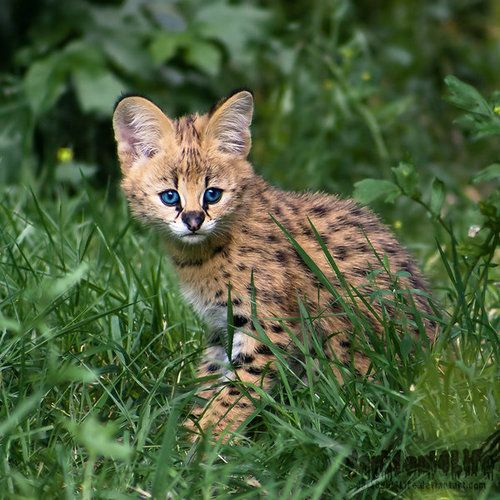 Newborn Serval By Darksoul4life Serval Cats Serval Wild Cats