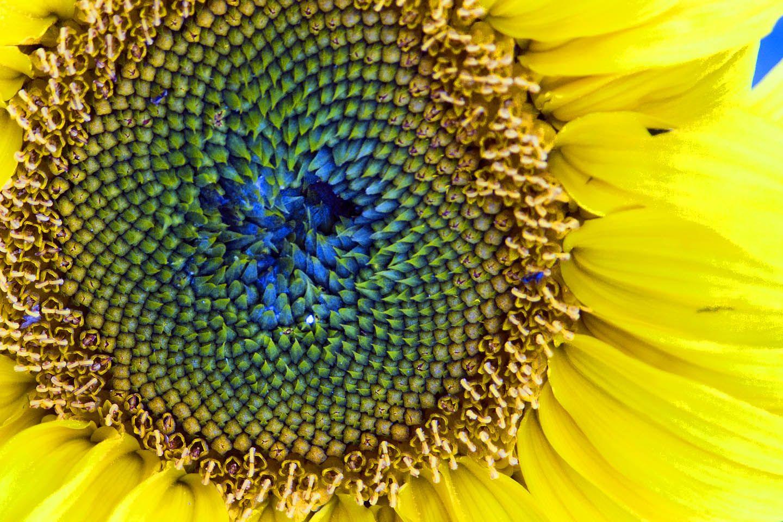 Sunflower Seeds Are Tri Doshic Ayurveda Www Ayurvedanextdoor Com Ayurveda Flower Essences Magnesium Benefits