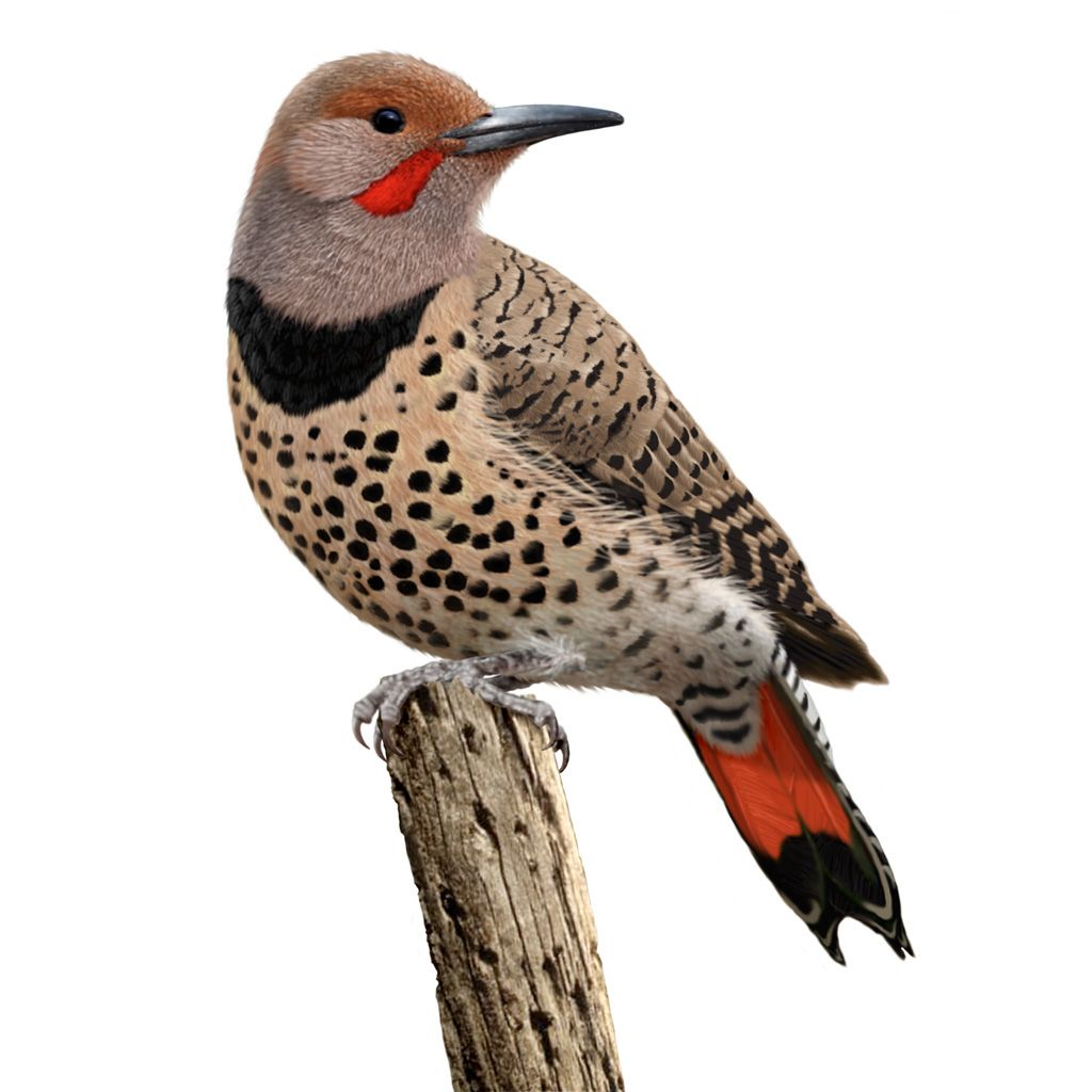 Red-shafted Flicker (Colaptes Auratus Cafer), A Subspecies