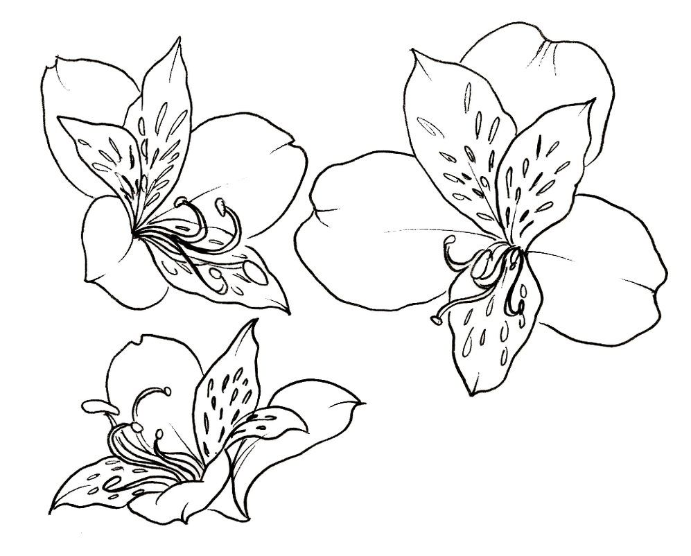 Peruvian lily flowers tattoo metacharis deviantart rat a tat tat peruvian lily flowers tattoo metacharis deviantart izmirmasajfo