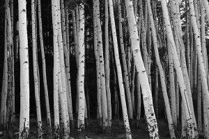 Aspen Tree Wall Mural, Photographer Zila Longenecker | Murals Your Way