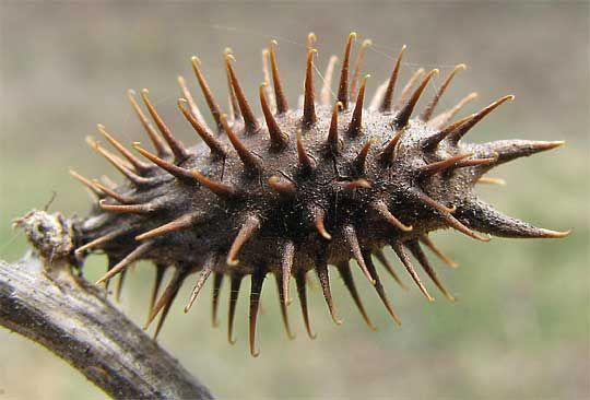 Cocklebur Seed Dispersal