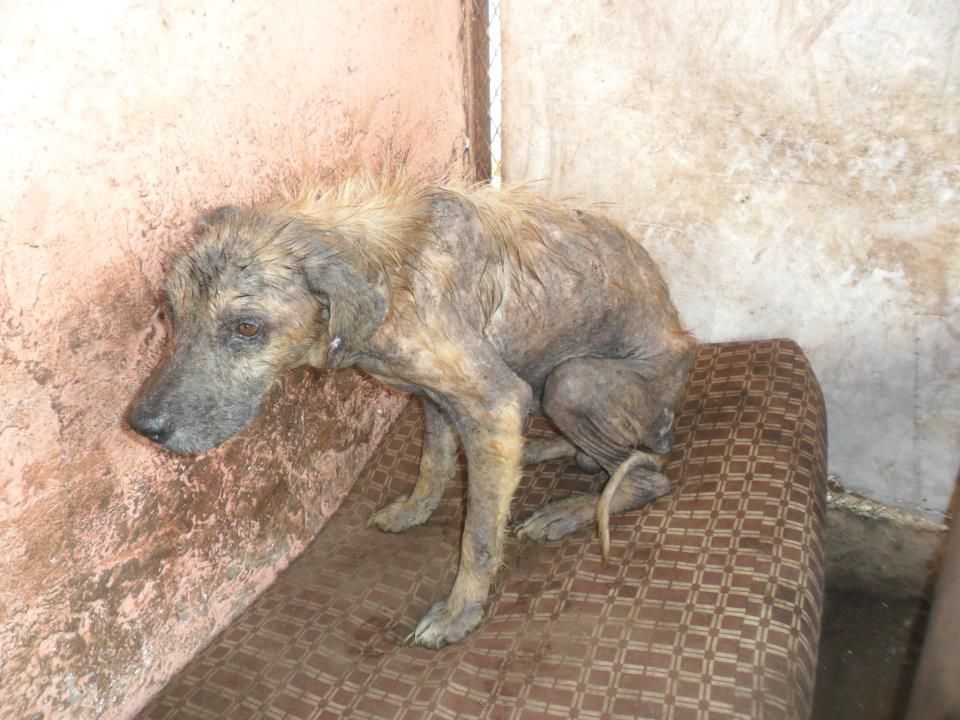 PLEASE SHARE THIS WAS HOPE STARVED TO DEATH IN AHPAE DEATH CAMO MOROCCO AND THIS WOMAN SHELLEY COOPER IS STOPPING ADOPTIONS I HAD AN ADOPTER FOR HIM E DIED TO LATE AS SHE IS STOPPING ADOPTIONS SO MANY SICK SAD ABUSED DOGS I SAW THEM BEATEN AND STARVED SO IVE EXPOSED THEM NOW ALL THE DOGS ARE WAITNG TO DIE LIKE HIM PLZ BE HIS VOICE HELP ME FOR THE DOGS.    R.I,P HE DIED 30 MINUTES AGO IN DEATH CAMP AHPAE I BEGGED FOR HIM TO SEE A VET 4 WEEKS AGO NOW HES DEAD HOW MANY MORE THTS 3 DOGS IN 3…