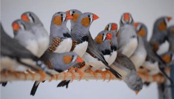 Ternak Finch