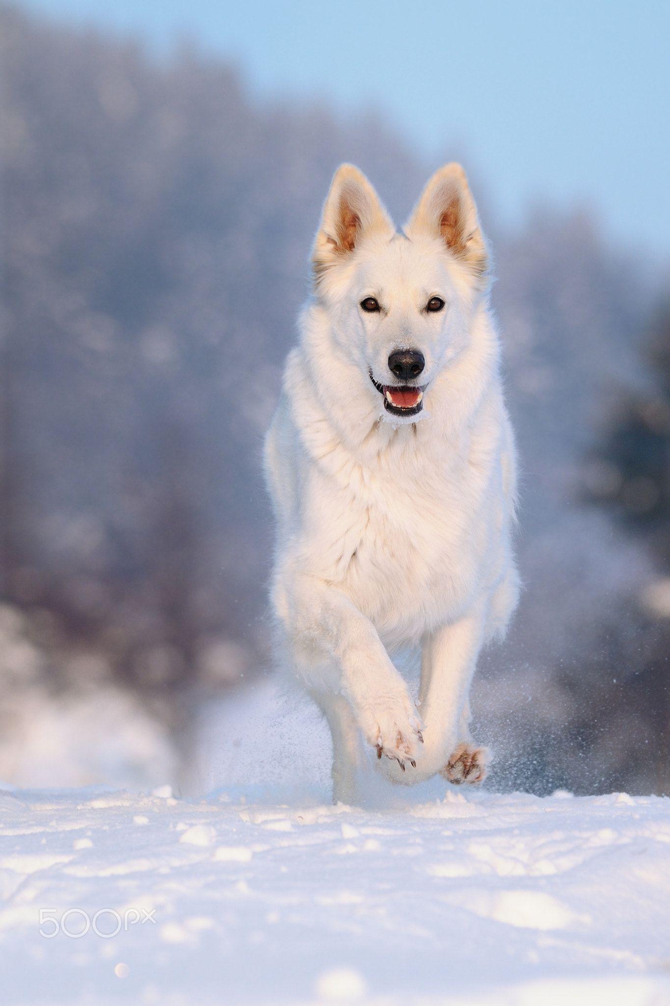 White Shepherd Running In The Evening White Shepherd Running In The Evening Weisser Schweizer Schaferhu White German Shepherd White Shepherd Beautiful Dogs