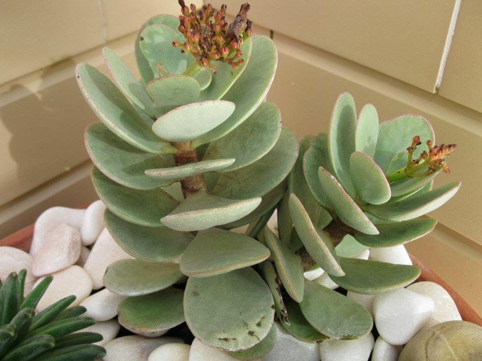 As Kalanchoes são plantas Suculentas originárias de Madagascar de ...