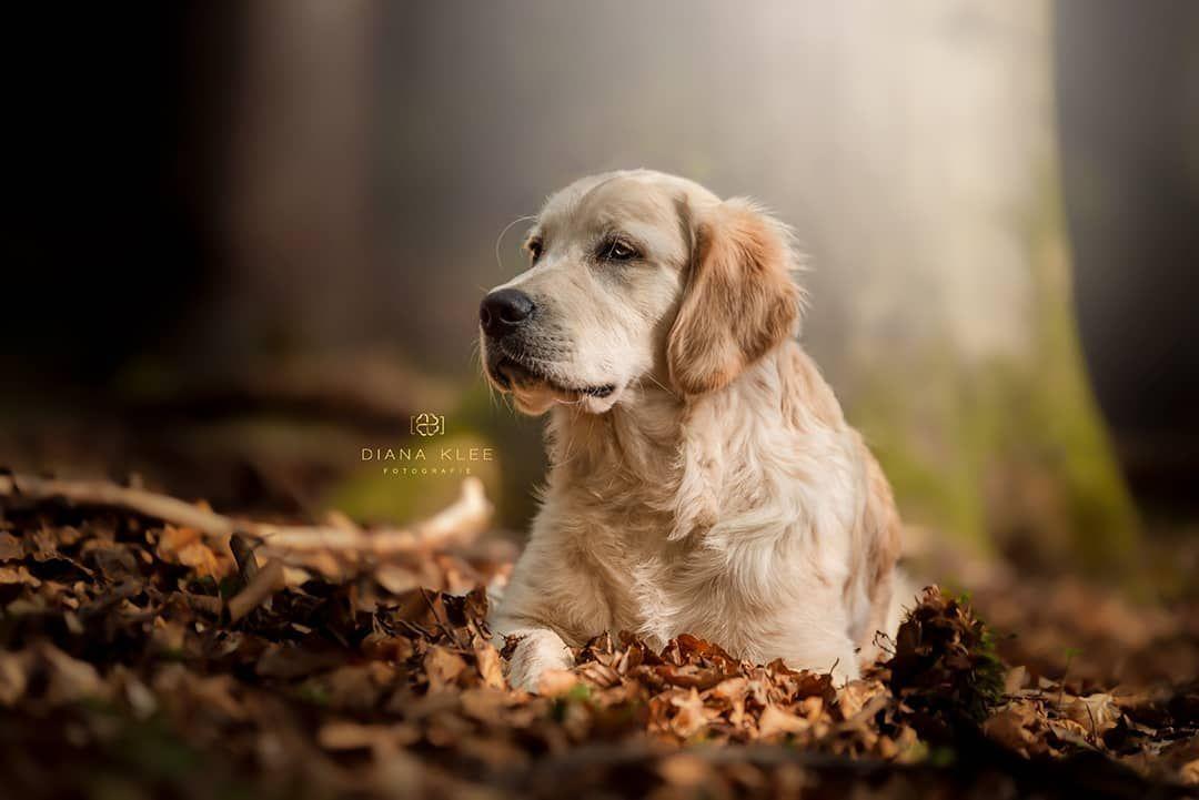Yack Goldenretriever Hunde Hundefotografie Hundefotografie Tierfotografie Hundefotos