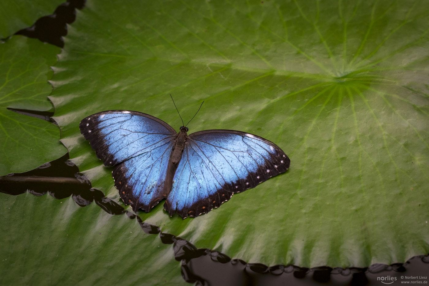 Blue On Green Himmelsfalter Morpho Peleides Butterfly Found This Beautiful Butterfly In The Exhibition On The Botanic Garden In Augsburg Ther Schmetterling