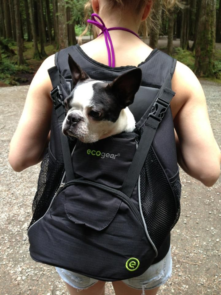 Boston Terrier In A Backpack Bixie Needs This And I Would Take