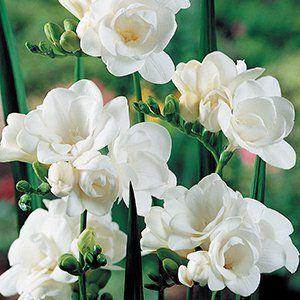 Freesia Virginia Garden Express Garden Express Freesia Flowers