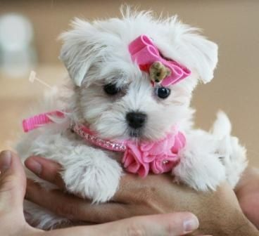 Teacup Malteser Maltese Puppy Maltese Puppies For Sale Teacup