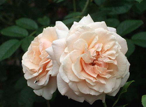 Large-flowered Climbing Rose: Rosa 'Penny Lane' (U.K., 1998)