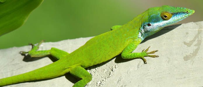5 Great Pet Lizards For Beginners Pet Lizards Lizard Lizard Types