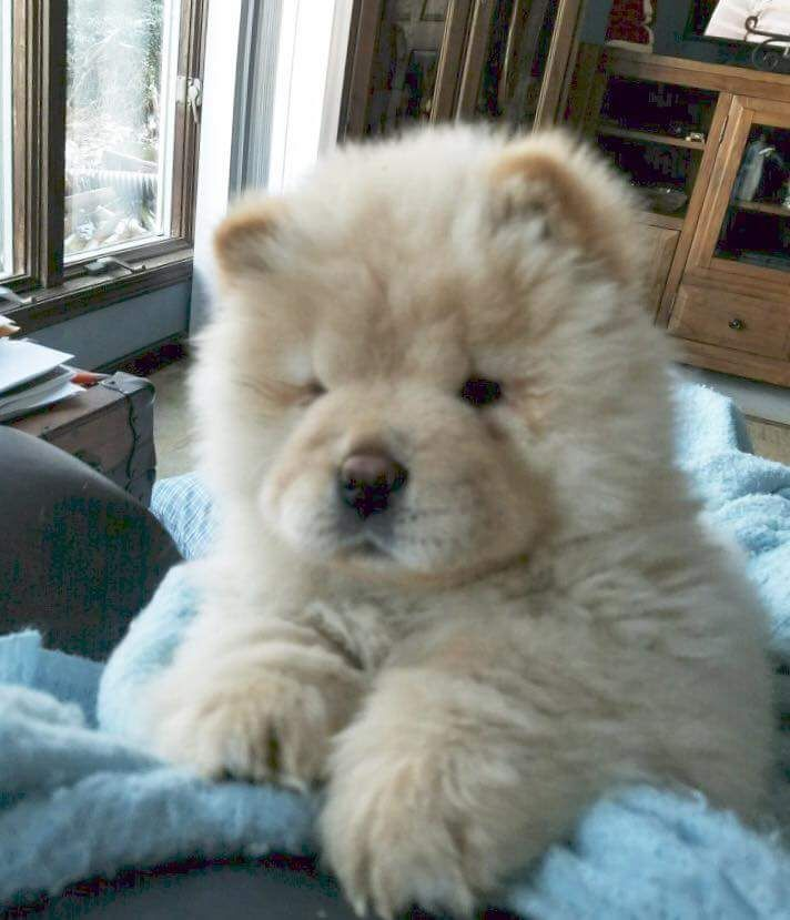 Pin By Kaitlyn Yamada On Chow Chow Doggies Fluffy Dogs Chow