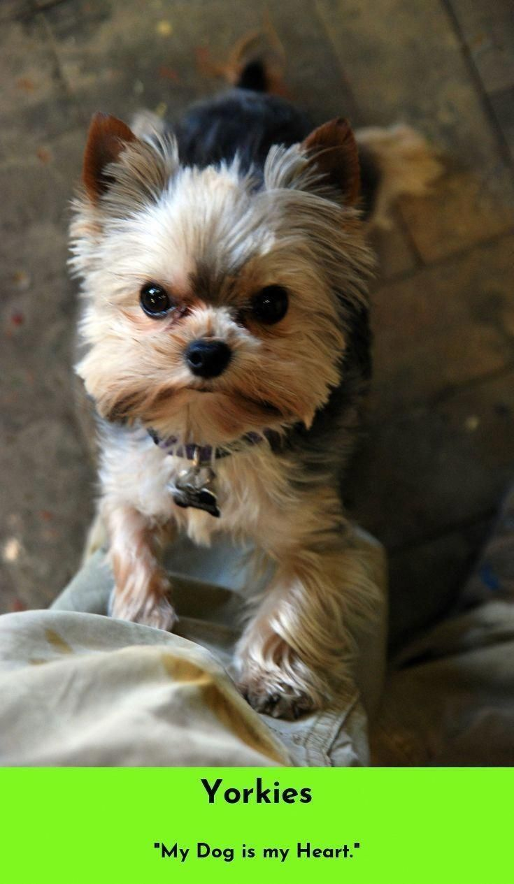 Find out more on the sprightly yorkie puppy size