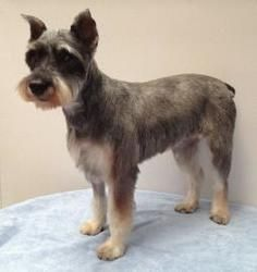 Patti Is An Adoptable Schnauzer Dog In Colorado Springs Co Hello My Name Is Patti And I M A Female Mini Schnauzer Animal Abuse Awareness Dogs Dog Adoption