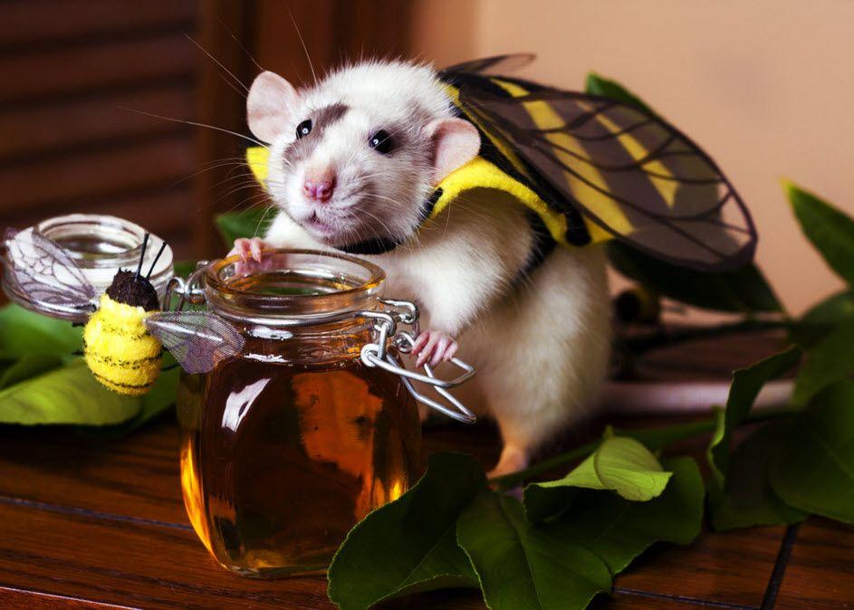 Diy Rat Bumblebee Costume Petdiys Com Cute Rats Funny Pet