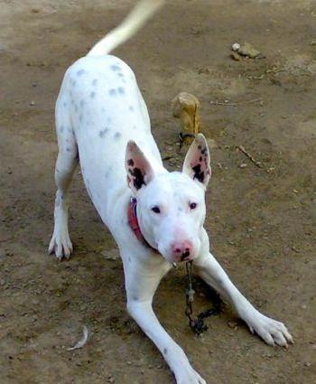 Inventory List Gull Terrier Bull Terrier Dog Bull Terrier